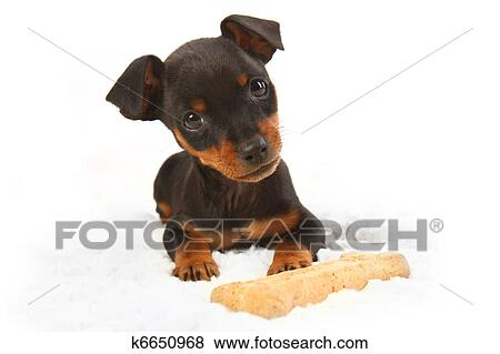 pictures of miniature doberman toy pincher puppy dog k6650968