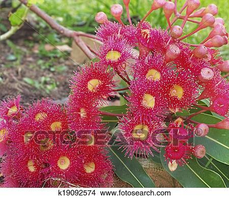 Pianta Fiori Rossi.Corymbia Pytochocarpa Australiano Nativo Piante Rosso