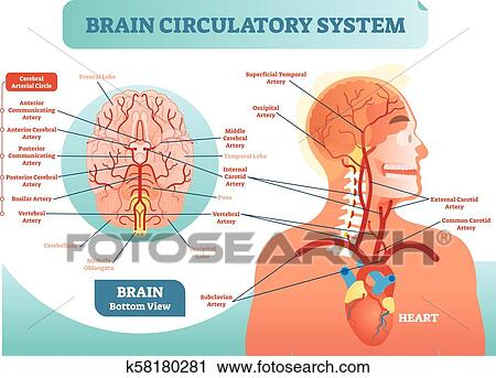 Clipart Of Brain Circulatory System Anatomical Vector Illustration