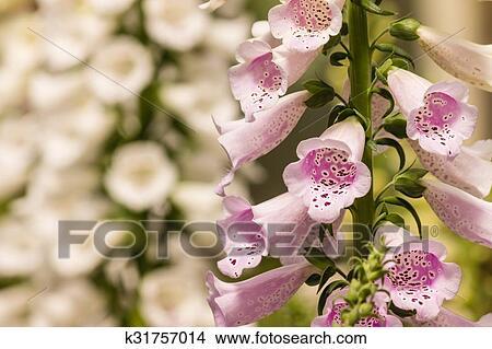 Stock photo of closeup of foxglove flowers k31757014 search stock closeup of pink foxglove flowers mightylinksfo