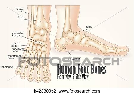 Clipart Of Human Foot Bones Front And Side View Anatomy K42330952