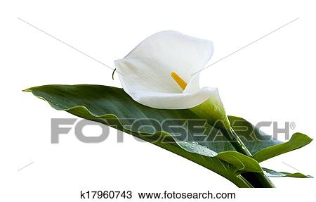 Stock Photo Of Calla Lily Flower K17960743 Search Stock Images