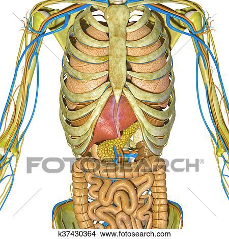 Dibujos - esqueleto, y, sistema digestivo k37430364 - Buscar Clip ...