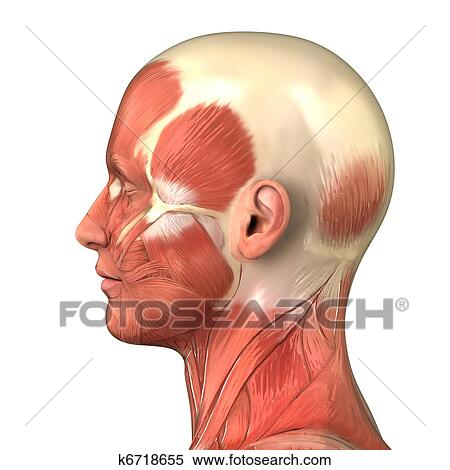 Colección de imágen - cabeza, sistema muscular, anatomía, derecho ...