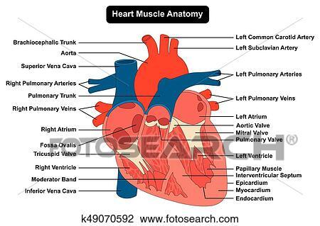 Clipart - corazón humano, músculo, estructura, anatomía, diagrama ...