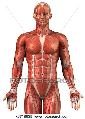 Stock Image of Man muscular system anatomy anterior view k6718635 ...