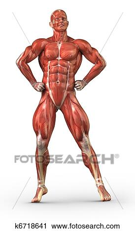 Stock Photography of Man muscular system anterior view in body ...