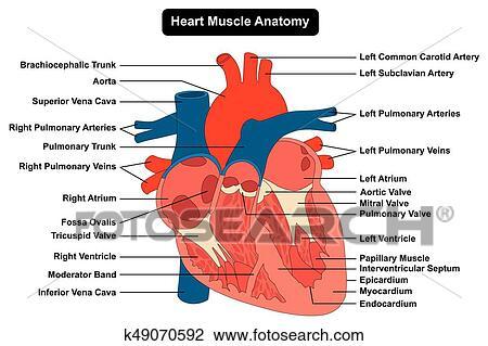 Clipart - menschliches herz, muskel, struktur, koerperbau, diagramm ...