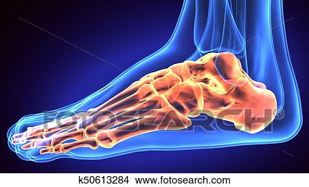 Anatomie Du Pied 3D pied humain, anatomie, illustration, ., 3d, render banque de photo