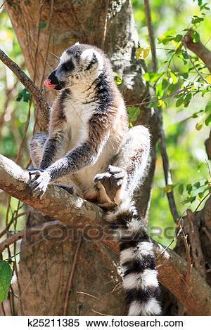 Colección de imágen - lemur atado anillo, madagascar k25211385 ...