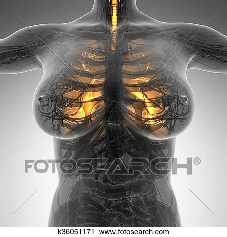 Stock Photography Of Science Anatomy Of Woman Body With Glow Lungs