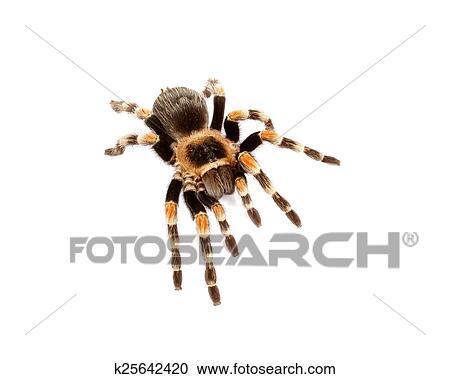 Mexican Redknee Tarantula Brachypelma Smithi On White Background