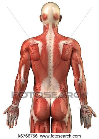 Colección de imágenes - hombre, espalda, sistema muscular, vista ...