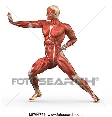 Stock Photography of Male muscular system in fight position k6766751 ...