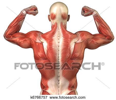Bild - mann, back, muskulatur, hinterer blick, in, körper ...