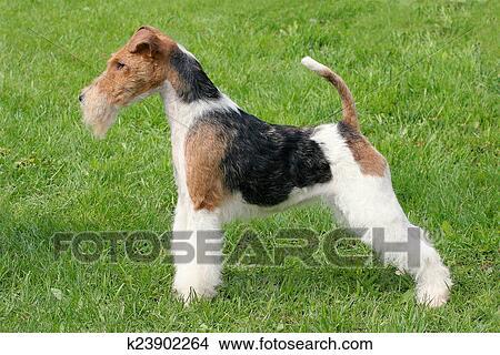 Stock Foto - weisen, position, fuchs terrier, draht, hund, auf, a ...