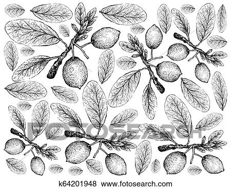Imbe Or Garcinia Livingstonei Fruits Clip Art K64201948 Fotosearch