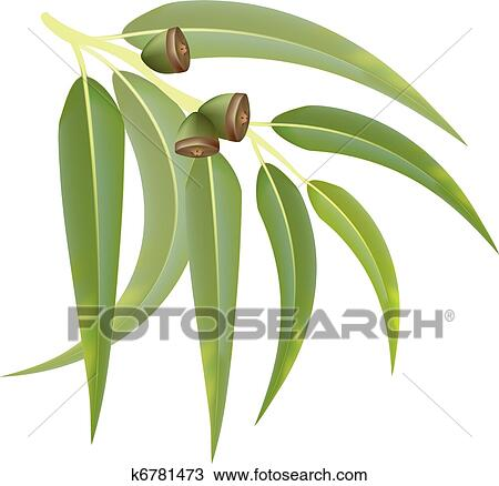 Clipart eucalyptus branche blanc arri re plan - Branche d eucalyptus ...
