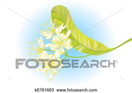 Clipart - Linden flowers. Vector illustration.. Fotosearch