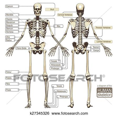 Clip Art Of A Diagram Of The Human Skeleton K27345326 Search