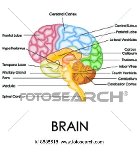Clip Art - cerebro humano, anatomía k18835618 - Buscar Clip Art ...
