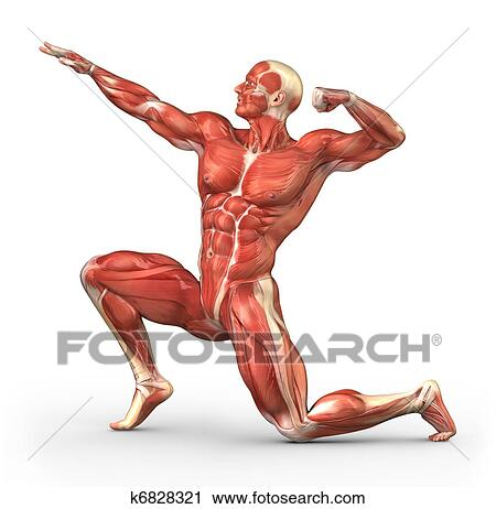Stock Photography of Man muscular system anatomy k6828321 - Search ...