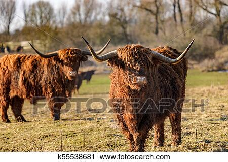 Scottish Highland Cows At The Field At Sunny Winterday Stock