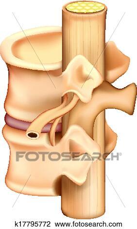 Clipart - vértebras k17795772 - Buscar Clip Art, Ilustraciones de ...