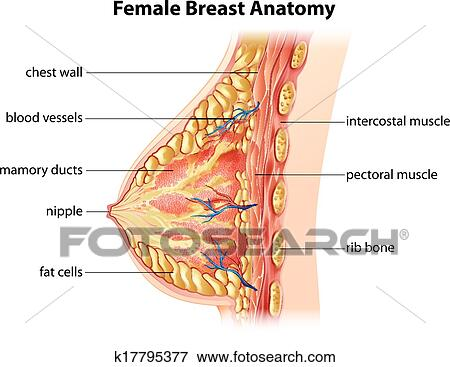 female breast anatomy clip art k17795377 Women's Muscle Diagram Chest illustration showing the female breast anatomy