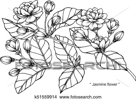 Clipart of jasmine flower drawing and sketch with black and white clipart jasmine flower drawing and sketch with black and white line art mightylinksfo