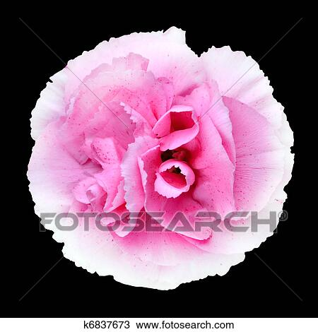 Stock Photo Of Pink White Carnation Gilly Flower Isolated On Black