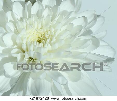 Stock images of white carnation flower k21872426 search stock nature white carnation flower in close up mightylinksfo