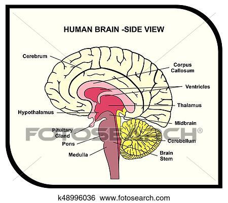 Clip Art - cerebro humano, anatomía, diagrama k48996036 - Buscar ...
