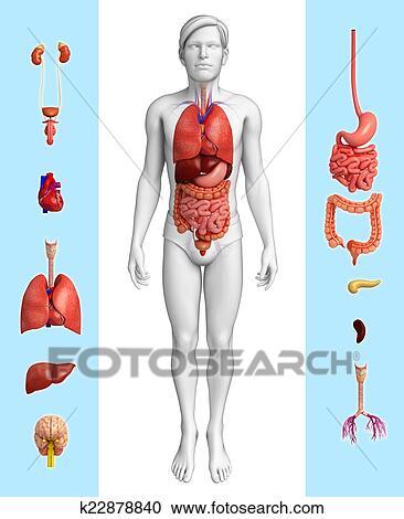 Colección de ilustraciones - macho, órgano, anatomía k22878840 ...