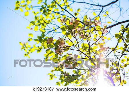 Picture Of White Flowering Dogwood Tree K19273187 Search Stock