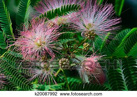 Stock Photo Of Pink Mimosa Flowers K20087992 Search Stock