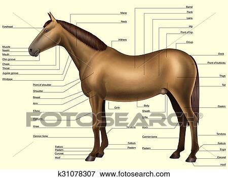 Stock Illustration Of Horse Anatomy Body Parts K31078307 Search