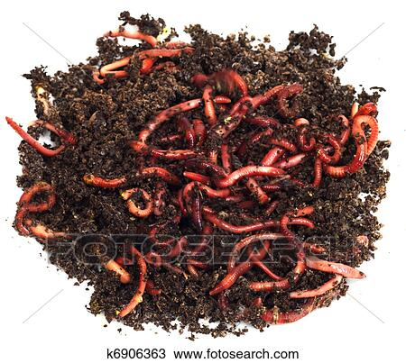 Stock photo of red worms in compost bait for fishing for Red worms for fishing