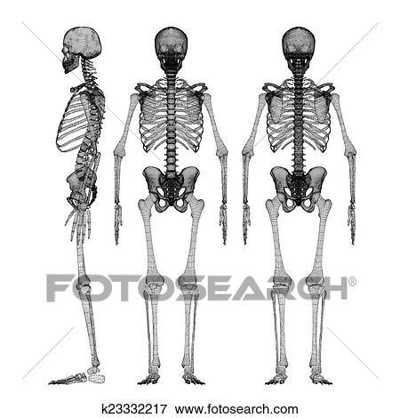 Stock Illustration - menschlicher körper, skelett k23332217 - Suche ...