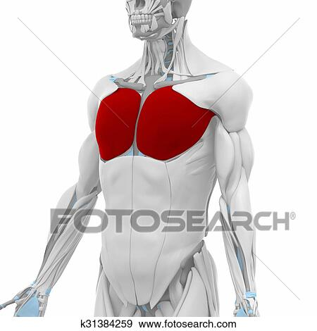 stock illustration of pectoralis major muscles anatomy map