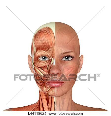 Stock Illustration of 3d Female Face Muscles Anatomy k44118625 ...