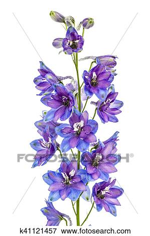Picture of flower of delphinium larkspur isolated on white flower of delphinium larkspur isolated on white background mightylinksfo