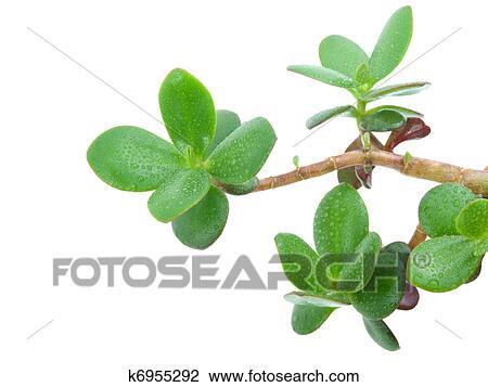 banque de photo plante maison crassula ovata ou argent arbre k6955292 recherchez. Black Bedroom Furniture Sets. Home Design Ideas