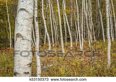 Paper Birch and Forest Floor Stock