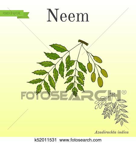 Neem Tree Medicinal Plant Clipart K52011531 Fotosearch