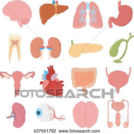 Clipart - órganos internos, vector, illustration. k37551792 - Buscar ...