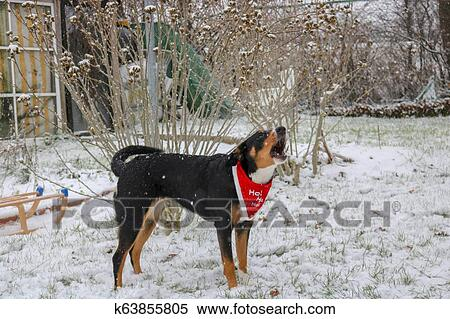 Appenzeller Swiss Dog On Snow Stock Photography