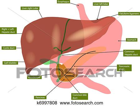 Clip Art Of Anatomy Of Liver And Gall Bladder K6997808 Search
