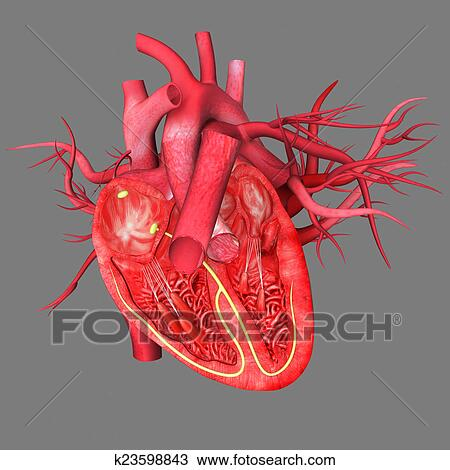 Drawing Of Heart Anatomy K23598843 Search Clipart Illustration