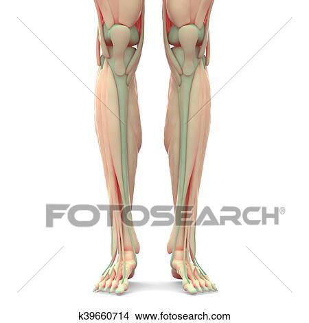 Dibujos - humano, piernas, con, músculos, anatomía k39660714 ...